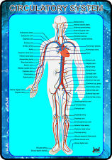 Circulatory System of Human Body (Anatomy Medical A4 Poster) NEW!