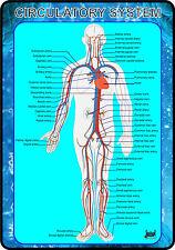 Circulatory System of Human Body (Anatomy Medical A4 Poster)