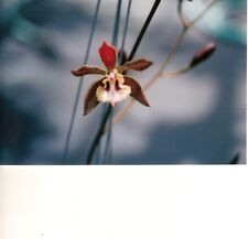 Encyclia altissima Bloom size Bare root Rarely Offered Large Imported Species