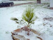 Winterharte Freilandpalme Sabal minor bis fast -30 Grad