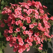 6 trailing petunia seeds Easy Wave Salmon variety with a mounding and spreading