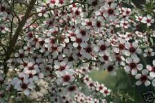 40 graines de MANUKA DES MAORIS(Leptospermum Scoparium)G102 SEED SAMEN SEMILLAS