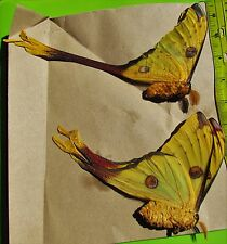 Giant Comet or Moon Moth Argema mittrei Pair Folded/Papered FAST SHIP FROM USA