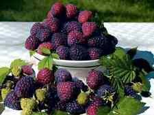 2 Royalty Summer Purple Raspberry Plants / 1-2 Year Organic - Fall Shipping