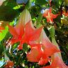 20pcs Red Brugmansia Datura Seeds Engelstrompeten Blüten-Blumen-Samen Riesi K0R3