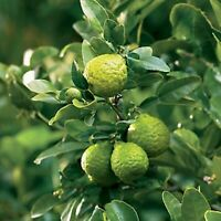 Kaffir Lime Tree- Grafted Dwarf Thai Kaffir Lime (Ma-grood)