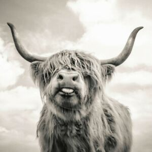 Grey Highland Cow CANVAS WALL ART HOME DECOR PICTURE PRINT FRAMED 16X16INCHES