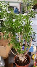 Ming Aralia - 1 Plant - 1 Feet Tall - Big Trunk - Great For Bonsai