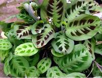 "Maranta Green Prayer Plant Easy to Grow 4"" Pot Garden Indoor Outdoor Houseplant"