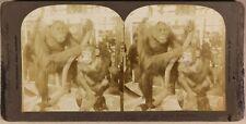 FRANCE Paris Gorilles Jardin des Plantes Photo Stereo Vintage Albumine