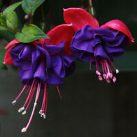 100PCs Double Blue Fuchsia Purple Eyes Bonsai Potted Flowers Seeds Home Garden