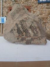 Fossil  fern CLODOPHELBIS jurassic iran