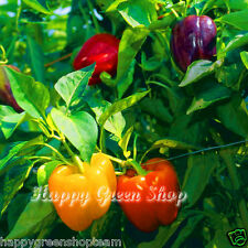 PEPPER BELL MIX - 100 SEEDS -  White Yellow  Red Green Purple Sweet Pepper