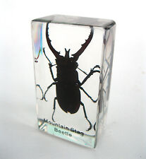 Real Stag Beetle Specimen Glass Block Halloween Paperweight Desk Decor Odd Gift