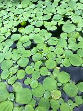 New listing 10 Small Water Lettuce Pond Plants with Free Shipping (with some Duck Weed)