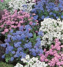 FLOWER FORGET ME NOT MYOSOTIS ALPESTRIS MIXED 1.7 GM ~ 2600 SEEDS