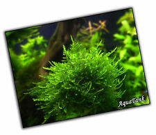Moss - Fissidens, Peacock and more - Live Aquatic Aquarium Tropical Tank Plants