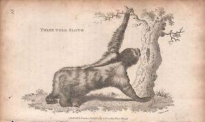 1808 ANTIQUE ANIMAL PRINT - GEORGE SHAW-MAMMALS :THREE TOED SLOTH
