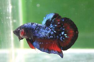 Betta live avatar breeding pair (fish sent according to the photo)
