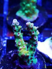 Tyree Pink Lemonade Acro Acropora Zoanthids Zoa Sps Lps Corals Wysiwyg