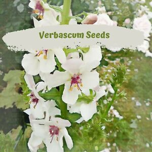 Verbascum White (blattaria) 100 plus Flower Seeds