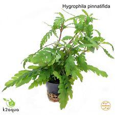 Hygrophila pinnatifida  Live Aquarium Plants Java Fern Aquascaping Tank Nano EU