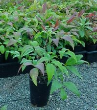 NANDINA DOMESTICANS COLOURFUL DWARF SHRUB 10 for $25 Garden Hedge Plant Border