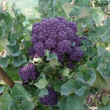 Buy 3 get 1 free! Purple early sprouting Vegetable 1000 seeds Broccoli