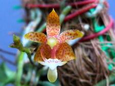 Orchid plant Grosourdya muscosa x self bloom size