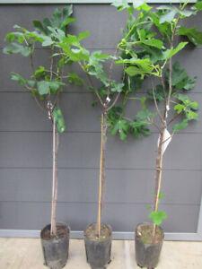 Ficus carica - süßer Frucht Feigenbaum -18°C - Pflanze 130-160cm