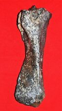 Woolly Rhinoceros (Coelodonta antiquitatis), Tibia