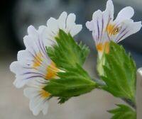 Sämereien für Tee, Spülungen i! Augentrost !i winterhart frosthart Gartenpflanze