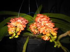 Orchidea (Peaches & Cream). pianta giovane libero mondo post.