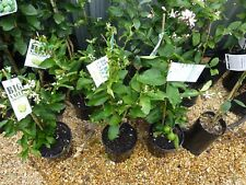 Citrus Trees Tahitian  Lime 200mm pots  approx 60cm hgt $29-50 EA