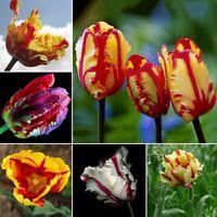 100St Samen Gemischte Farbe seltene Papageien Tulpenzwiebeln Saatgut Seed Garten