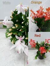 3xChristmas Cactus Cuttings. Schlumbergera Truncata House Plants Mixed varieties