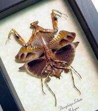 Real Framed Deroplatys Lobata Verso Dead Leaf Praying Mantis 7904V