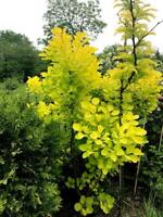 SMOKEBUSH 'Golden Spirit' 10 Seeds Cotinus Coggygria - Beautiful Colour Foliage