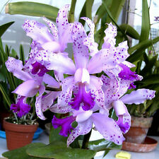 Neue C.Interglossa Community Topf mit 5-6 Jungpflanzen  cattleya orchidee