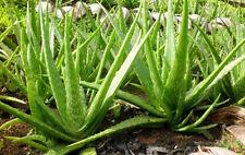 100PCS ALOE VERA SEEDS vera beauty cosmetics Bonsai plants