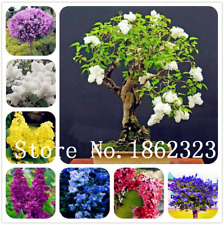 100 Pcs Seeds Bonsai Lilac Japanese Lilac Clove Flowers Trees Plants Home Garden