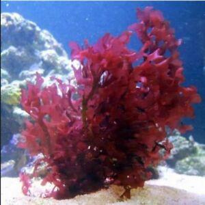 Gracilaria Hayi Macro Algae (Red Bush Algae) for Reef Saltwater Refugium FRAG