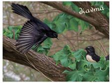 © ART willy Wagtail Australian Wildlife BIRD Original Artist Print by Di