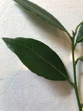 50 Fresh Laurel Bay Leaves For Cooking - Cut To Order - Organic
