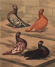 PIGEONS. Almond Tumbler. Yellow Red Agate Splash/Mottle; Kite 1880 old print