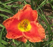 Daylily Plant VEIN PRETENDER Rebloom Perennial DF Hensley-D. Orange Red Flower