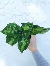 #30 Rare Aglaonema Pictum Tricolor Camouflage 4� Pot Houseplant Aroid