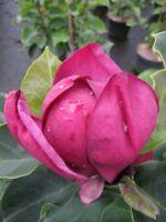 Magnolia soulangeana Genie - Tulpenmagnolie Genie