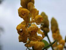 10 Seeds Cassia reticulata Golden Lantern Tropical Ornamental Overstock