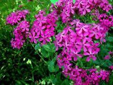 CATCHFLY FLOWER  100 FRESH SEEDS FREE SHIPPING SILENE ARMERIA